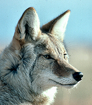 The Coyote - The Trickster
