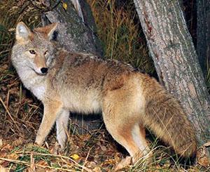 Coyote300_2